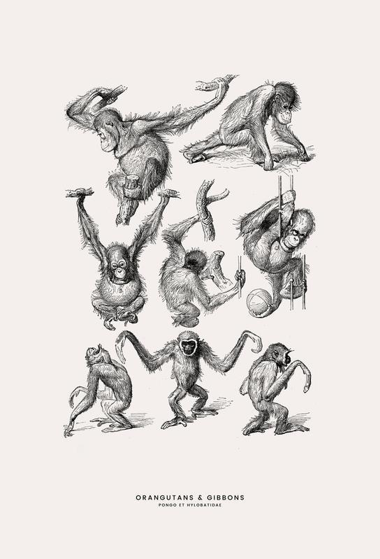 Orangutans and Gibbons Acrylic Print