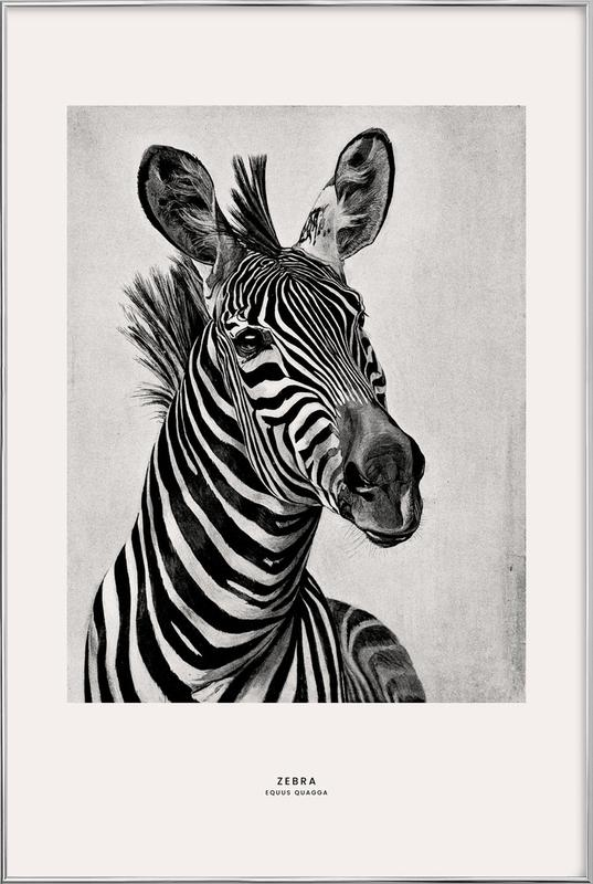 Zebra Portrait -Poster im Alurahmen