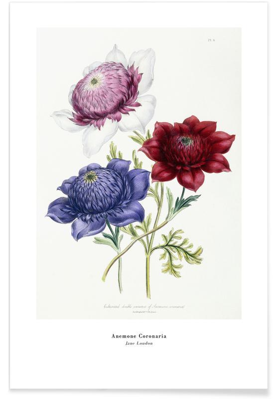 Jane Loudon, Jane Loudon - Anemone Coronaria Poster