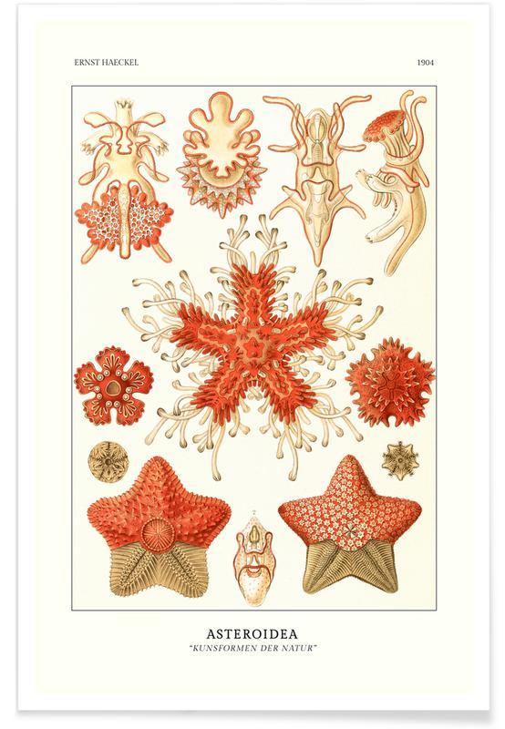 Ernst Haeckel, Haeckel - Asteroidea affiche