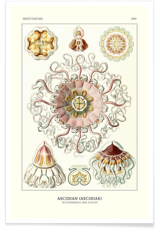 Ernst Haeckel, Ernst Haeckel-Peromedusae - Talchenquallen affiche