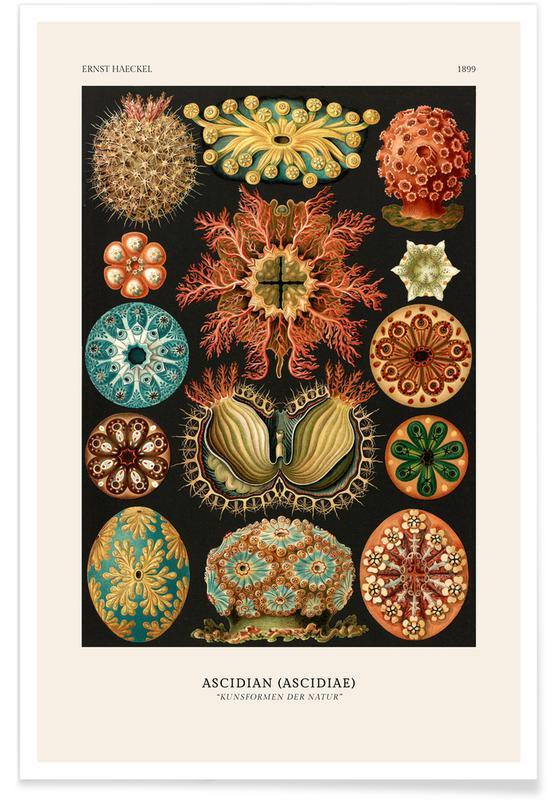 Ernst Haeckel, Haeckel - Ascidiae -Poster