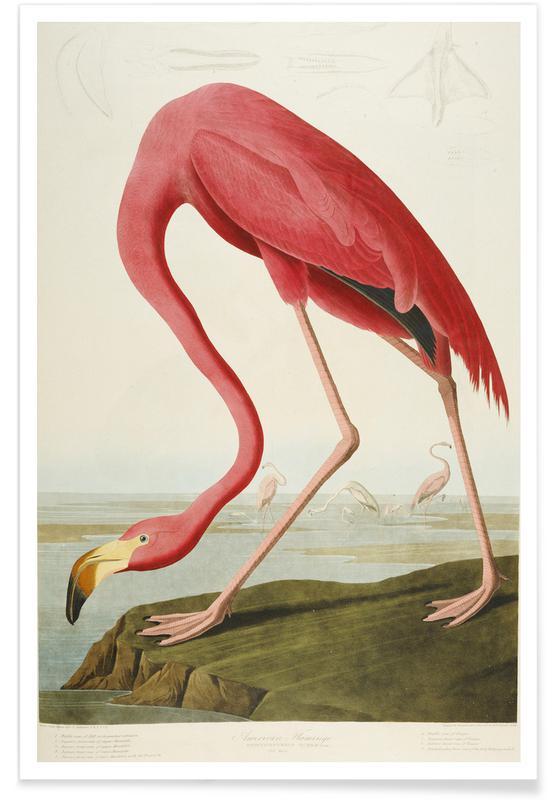 Robert Havell, Robert Havell - American Flamingo -Poster