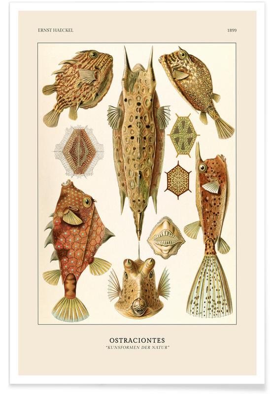 Ernst Haeckel, Haeckel - Ostraciontes -Poster