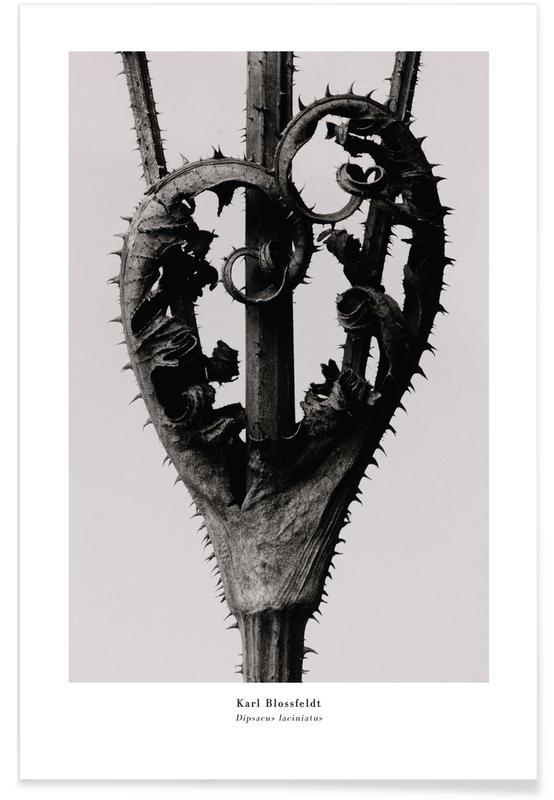 Karl Blossfeldt, Blossfeldt - Dipsacus Laciniatus poster