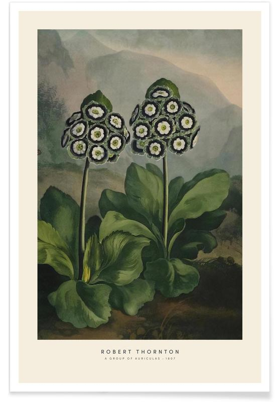 Vintage Reise, Thornton - A Group of Auriculas -Poster