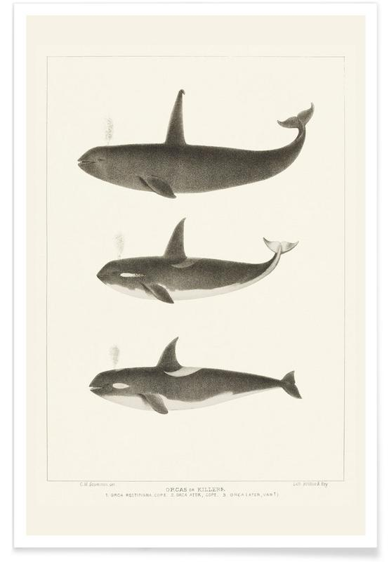 , Scammon - Orca or Killer Whale affiche