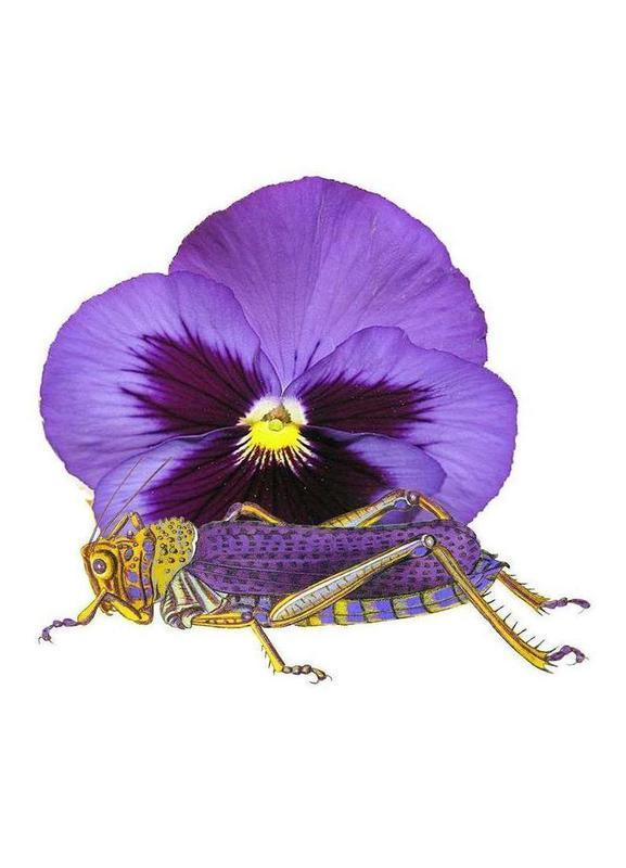 Purple Grasshopper and Viola canvas doek