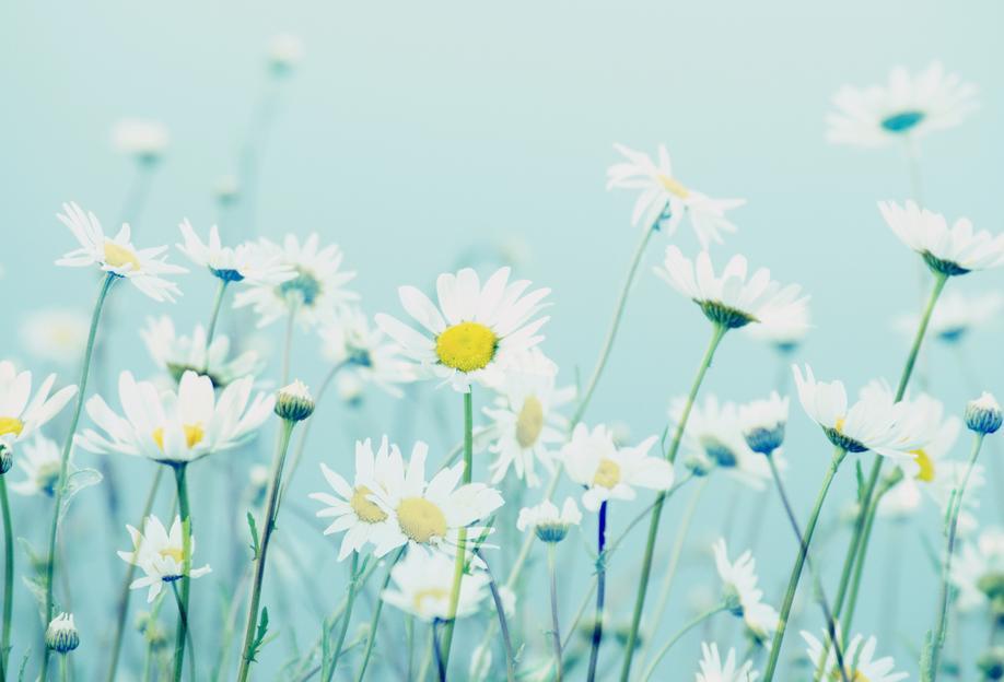 Dancing Daisies -Acrylglasbild